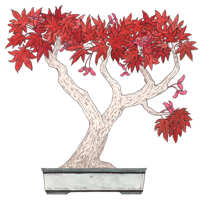 a red-leafed japanese maple tree